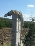 (Özel) Çatalca'da İguana Şaşkınlığı