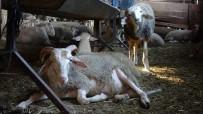 (ÖZEL) Ezine Peynirinin Sırrı Bu Bölgede Yetişen Hayvanların Sütünde Gizli