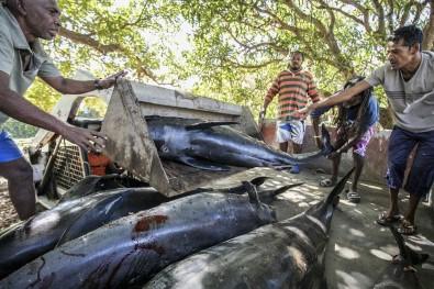 Mauritius Balıkçılık Bakanlığı Açıklaması 'Şu Ana Kadar 38 Yunus Ölü Bulundu'