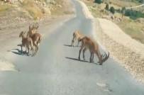 Tuz İçin Yola İnen Dağ Keçileri Görüntülendi, Yetkililer Uyardı