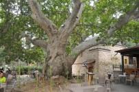 Akşehir'deki Tescilli Anıt Ağaçların Tabelaları Takıldı