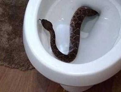 Klozetten çıkan yılan soktu! Tuvalette kanlar içinde kaldı