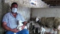 Manisalı Çiftçi Yeni Doğan Kuzularına Maske, Mesafe Ve Hijyen İsimlerini Verdi