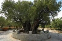 (Özel) 1658 Yıldır Medeniyetleri Besleyen Ağaç Bu Yıl Da Meyve Verdi