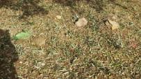 Dolu Yağışı Zeytinliklere Zarar Verdi