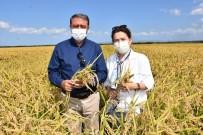 Vali Şıldak, Pirinç Hasadı Yaptı