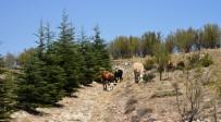 Fidanlar Büyüyünce Ormanlık Alan Hayvan Otlatmaya Açıldı