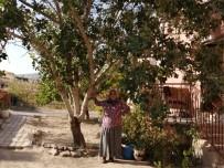 Kayseri'nin Yeşilhisar İlçesinde Antep Fıstığı Ağacını Görenler Şaşkınlığını Gizleyemiyor