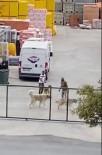 (Özel) İstanbul'da Köpekleri Acımasızca Kavga Ettirdiler