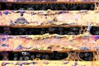 Üniversiteli Arılar Üretiyor, Kilosundan 6-7 Bin Lira Gelir Elde Ediliyor
