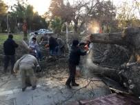 Dev Çınar Rüzgara Dayanamadı