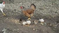 Tavuk Kış Ortasında Civciv Çıkardı