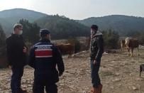 Siste Kaybolan Büyükbaş Hayvanları Jandarma Ekipleri Buldu