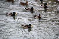 Yaban Ördekleri Çoruh Nehri'ni Mesken Tuttu