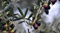 Tek bir zeytin ağaçları yok ama zeytinyağı Türkiye'den daha uzuc!