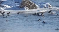 Yeşilbaş Ördekler Kars Çayı'nı Mesken Tuttu