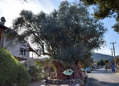 Asırlık Zeytin Ağaçları Tarihe Meydan Okuyor
