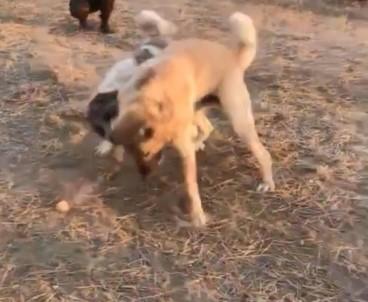 Köpekleri Dövüş Adı Altında Birbirine Parçalattılar