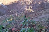 Kış Ortasında Meyve Veren Elma Şaşırttı