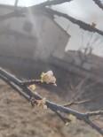 Ocak Ayında Erik Ağacı Çiçek Açtı