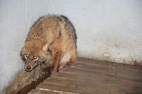 Uşak'ta Yaralı Tilki Tedavi Edilerek Doğaya Salındı