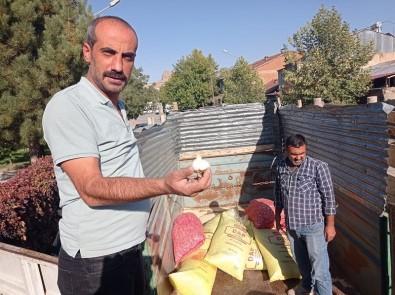 Elazig'da Çiftçilere Yüzde 75 Hibeli Sarimsak Tohumu Dagitildi