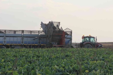 Seker Pancarinin Üretim Üssü Konya'da Hasat Zamani