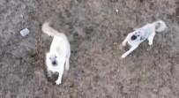 Koyun Sürüsünü Droneden Korumak İsteyen Çoban Köpeklerinin İmtihanı