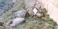 Doğaya Bırakılan Yemleri Yiyen Keçiler Görüntülendi