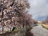 Günyüzü'nde Badem Ve Kayısı Ağaçları Yine Erken Çiçek Açtı