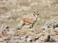 Cudi Dağına Bırakılan Ceylanlar Sıkı Şekilde Takip Ediliyor