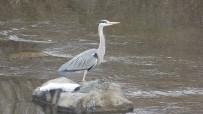 Gri Balıkçıl Kuşlar Ardahan'da Kar Sürpriziyle Karşılaştı