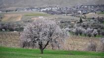Tunceli'de Baharın Müjdecisi Badem Ağaçları Çiçek Açtı
