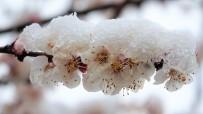 Çiçek Açan Meyve Ağaçları Kar Altında Kaldı