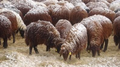 Besiciler Koyunlarını Kar Altında Yemliyor