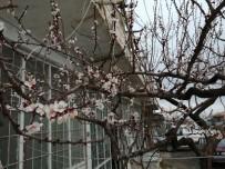 Çiçek Açan Kayısı Ağaçlarını Don Vurdu