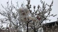Çiçek Açan Kayısı Ağaçları Donma Tehlikesi Altında