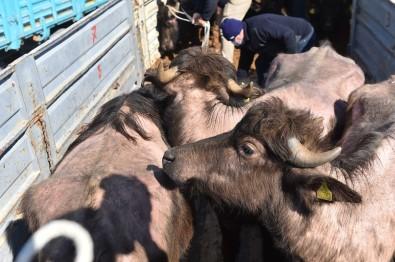 Başkent'te Et Ve Süt Üretimini Artıracak Destek Başladı Açıklaması 3 İlçede Gebe Manda Dağıtımı Tamamlandı