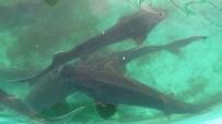 250 Milyon Yıllık Geçmişi Olan Mersin Balığı'nın 3 Türü Tükendi, Kalan 3 Türü İse Kırmızı Listede