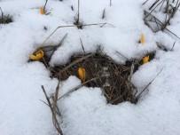Zirvede Açan Çiğdemler Kar Altında Kaldı