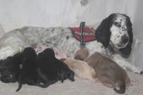Av Köpeği, Pitbull Cinsi Köpeğe Anne Oldu