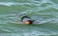 Nesli Tükenmekte Olan Akdeniz Fokları, Boğaçayı'nı Mesken Tuttu