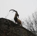 Doğa Sessiz Kaldı, Ayılar Ve Yaban Keçileri Vadilere İndi