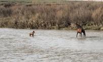 Akıntıda Sürüklenen Yavru Yılkı Atı Son Anda Kurtuldu