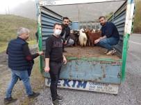 Çukurca'da Çiftçilere 300 Küçükbaş Hayvan Desteği