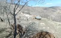 Su Ve Yiyecek İhtiyacını Karşılayan Dağ Keçileri, Fotokapanla Görüntülendi