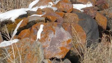 Nadir Görünen Beyaz Gelincik Ardahan'da Görüntülendi