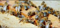 Anadolu Bal Arısının Genetik Haritası Çıkarılacak