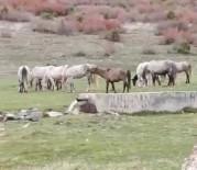 Tavşanlı Yaylacık Ormanlarında Yılkı Atları Görüntülendi