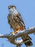 Hersek'te Kuş Tür Sayısı Her Geçen Gün Artıyor